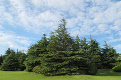Pine forest. And blue sky royalty free stock photo