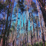 Pine forest and blue sky Royalty Free Stock Photography