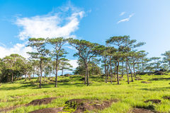 Pine forest and blue sky at Bolaven highland of Southern Laos Stock Photos
