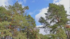 Pine forest blue sky clouds nature landscape time lapse. Pine  forest blue sky clouds nature landscape time lapse stock footage