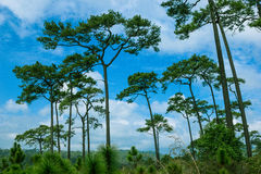 Pine forest. With the blue sky at Phu Kradueng National Park, Thailand stock photo