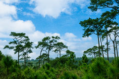 Pine forest. With the blue sky at Phu Kradueng National Park, Thailand royalty free stock photo