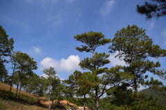 Pine forest with blue sky and white clouds in Dalat, Vietnam Stock Photo