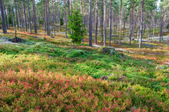 Pine forest with blueberry bushes Stock Photo
