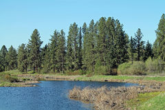 Pine Forest Bordering a Wetland Pond. On a sunny spring day Royalty Free Stock Photography