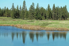 Pine Forest Bordering a Wetland Pond. With Trees Reflected in the Water Royalty Free Stock Photo