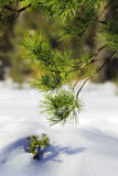 Pine forest. Pine branch in the winter forest Royalty Free Stock Images