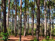 Pine forest in brazil. In the top of a montain in Petropopolis, Rio de janeiro royalty free stock photo