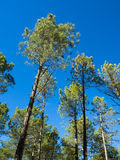Pine Forest. Of bright colored green, in blue sky background Stock Images