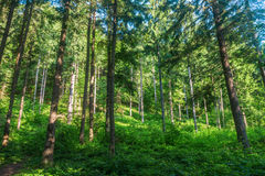 The pine forest Stock Photos