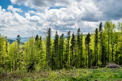 Pine forest in the Carpathian Mountains. Western Ukraine. Cloudy sky and hills at the background royalty free stock image