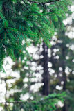 Pine forest in the Carpathians Stock Image