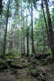 Pine forest in Carpathians Royalty Free Stock Images