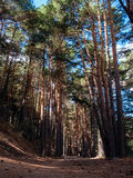 Pine Forest in Cercedilla. Hiking through the Sierra de Madrid Royalty Free Stock Images