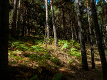 Pine Forest in Cercedilla royalty free stock image