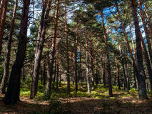 Pine Forest in Cercedilla Stock Photos