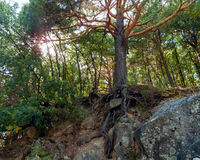 Pine Forest in Cercedilla stock images