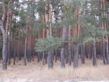 Pine forest Royalty Free Stock Photography