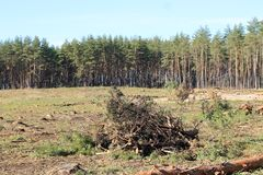 Pine, pine forest, deforestation, summer stock photography