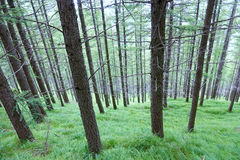 Pine forest. The close-up of summer pine forest in mountain stock images