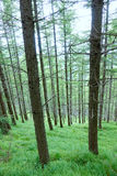 Pine forest. The close-up of summer pine forest in mountain royalty free stock image