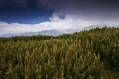 Pine forest and  cloud scenery in high mountains Stock Images