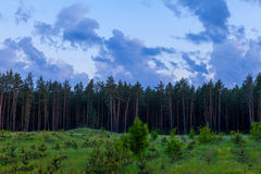 Pine forest and cloudy sky at the end of day Royalty Free Stock Image