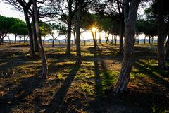 Pine forest in the colored vegetation behind the beach dunes at dawn in Sardinia royalty free stock image