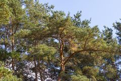 Pine forest. Coniferous trees Christmas tree. Nature sky and green spruce stock photography
