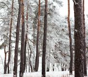 Pine forest covered with hoarfrost Royalty Free Stock Photo