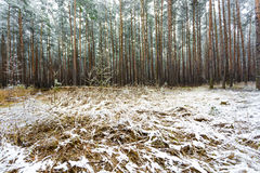 Pine forest covered by melting snow at spring day Stock Images