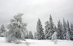 Pine Forest Covered with Snow Royalty Free Stock Photos