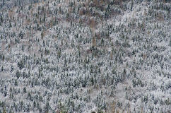 Pine forest covered by snow in a cold winter day. On the entire Stock Photos