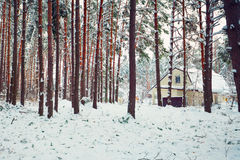 Pine forest covered with snow Royalty Free Stock Image