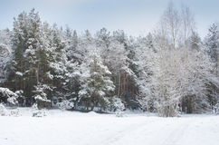 Pine forest  covered with snow Stock Photography