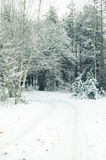 Pine forest  covered with snow Royalty Free Stock Photo