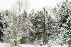 Pine forest  covered with snow Stock Photos