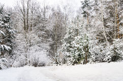 Pine forest  covered with snow Royalty Free Stock Photography