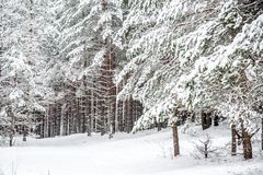 Pine forest covered with snow. Winter nature in Lithuania near mound, trees with snow royalty free stock image