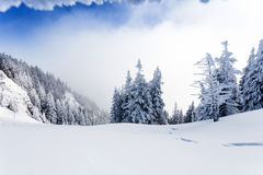 Pine forest covered in snow Royalty Free Stock Images