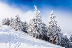 Pine forest covered in snow Stock Photos