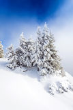 Pine forest covered in snow Royalty Free Stock Image