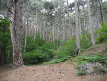 In the pine forest, Crimean mountains. Ai-Petri, near Yalta Royalty Free Stock Photography