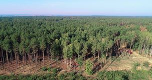 Pine forest cutting, logging aerial view. Deforestation on an industrial scale