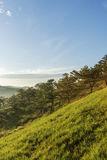 Pine forest in Da Lat Royalty Free Stock Photo