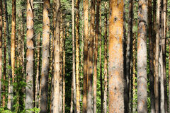 Pine forest in daylight Stock Image