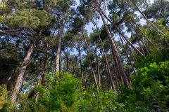 Pine forest at daylight tree summer bush landscape Royalty Free Stock Image