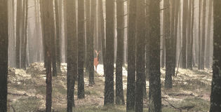 Pine forest and a deer hiding under the trees Royalty Free Stock Photography