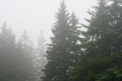 Pine forest in dense fog. A view of a  tall Maine pine forest on a foggy, drizzly evening Royalty Free Stock Photos