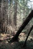 Pine forest. Depths of a forest. Journey through forest paths. T Royalty Free Stock Image
